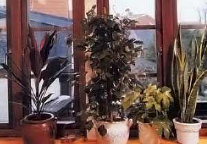 Квіти біля вікон