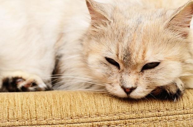 Кот лежить на дивані