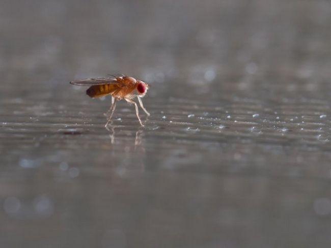 Ефективні способи позбавлення від плодових мушок