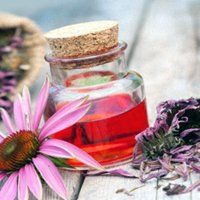 Ехінацея для імунітету дітям, корисні властивості рослини