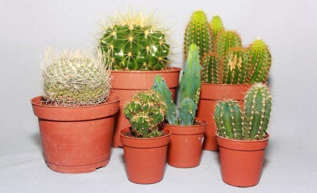 Як часто поливати кактус? Правила поливу дорослих кактусів в домашніх умовах