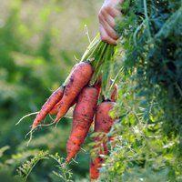 Як зберігати моркву, кілька способів збереження овоча