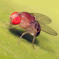 Як позбутися від дрозофіл, ефективні способи боротьби з комахами