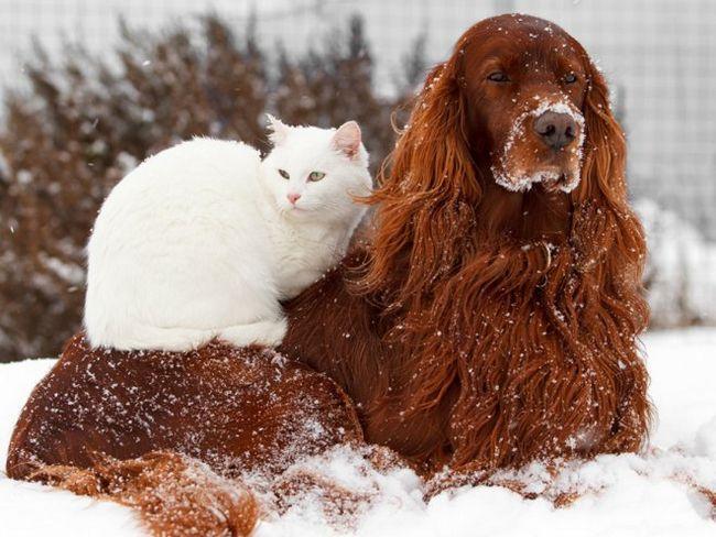 Як подружити кішку з собакою?