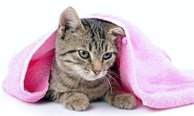 Кот в рушник