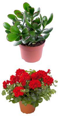 Магічні рослини: притягуємо удачу, гроші, щастя