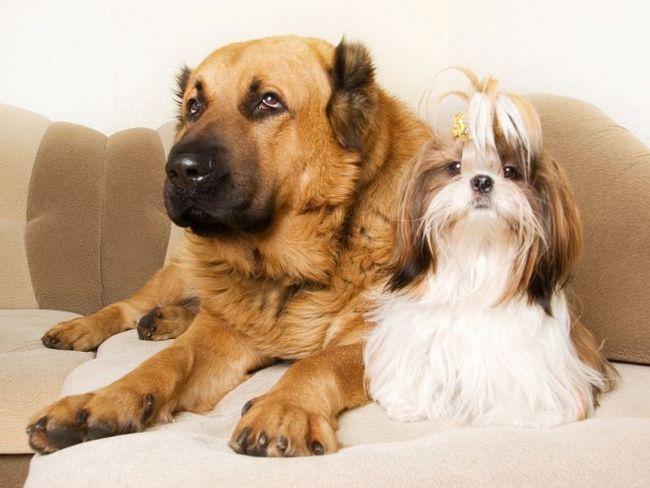 Плюси і мінуси кастрації і стерилізації собак