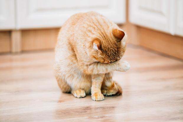 Чому кіт миється