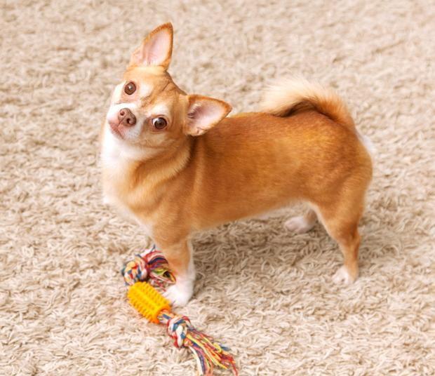 Собака з іграшкою