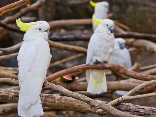 Все, що ви хотіли знати про популярних видах какаду