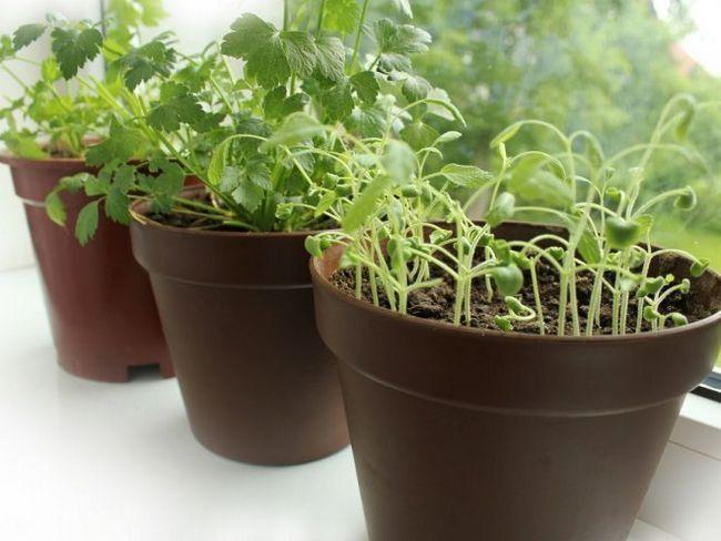 Вирощуємо зелень на підвіконні